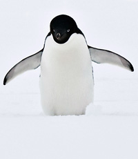 Picure of a Penguin